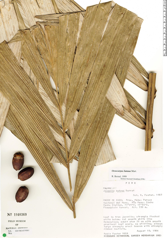 Specimen: Oenocarpus bataua