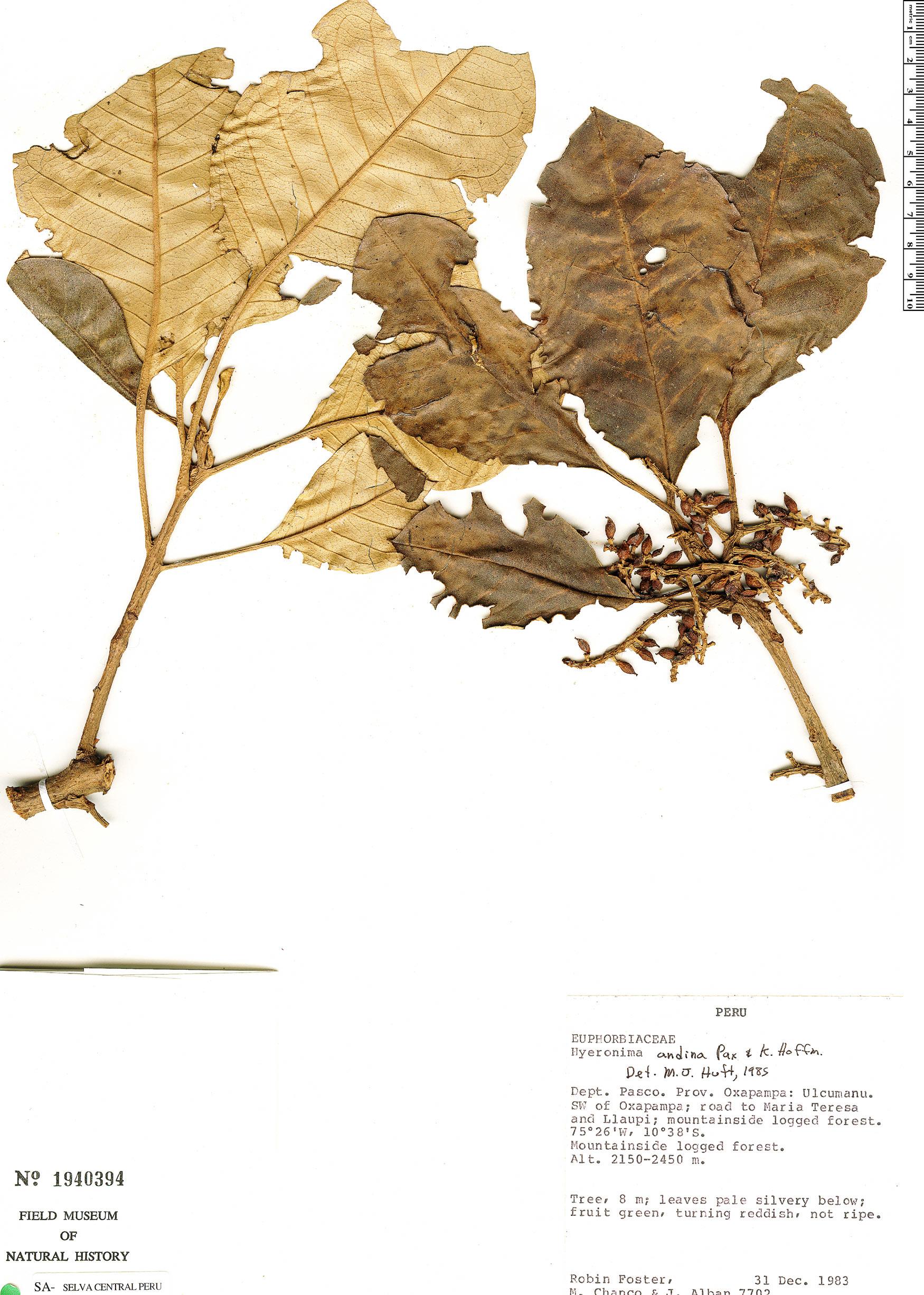 Specimen: Hieronyma andina