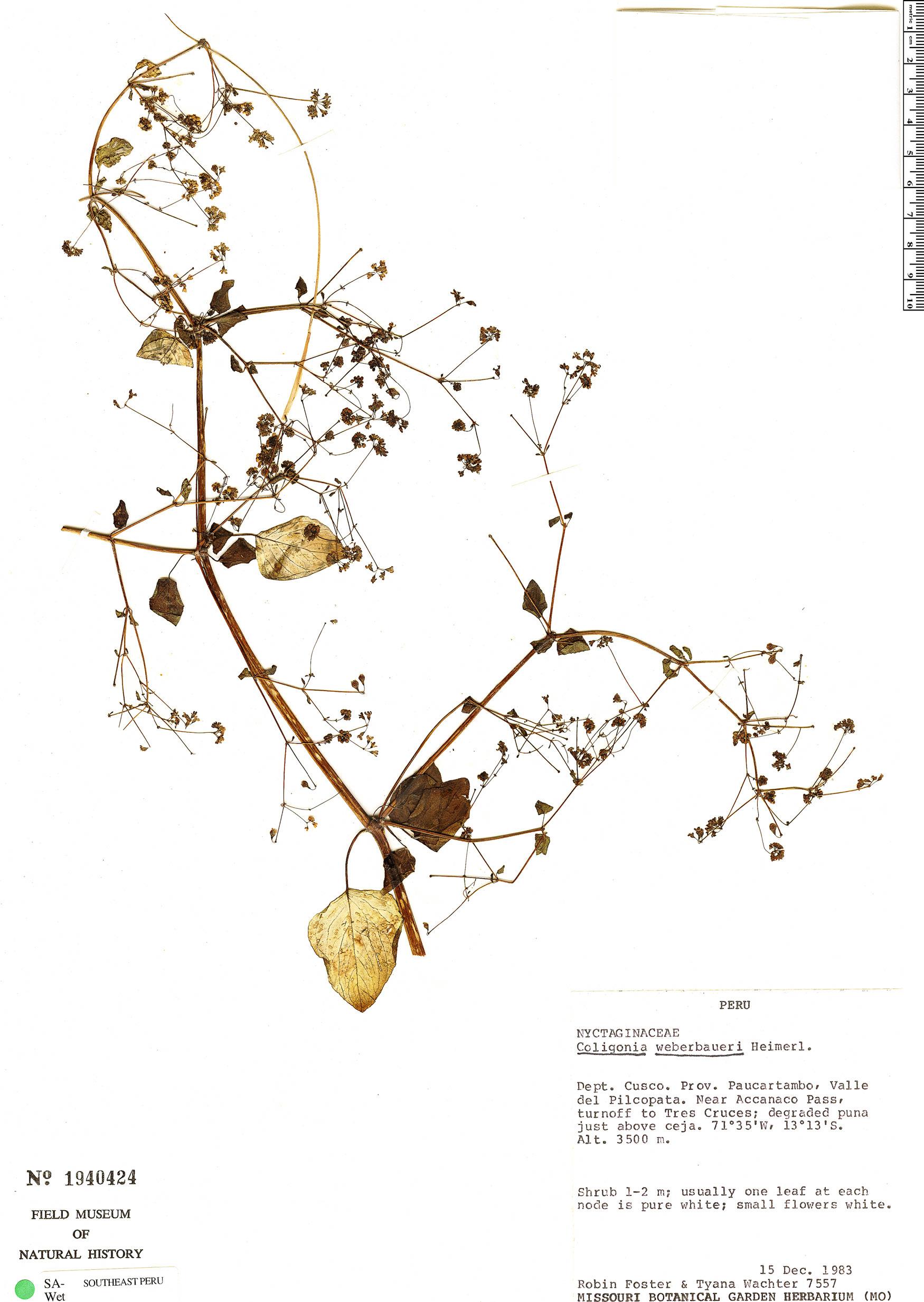 Specimen: Colignonia parviflora