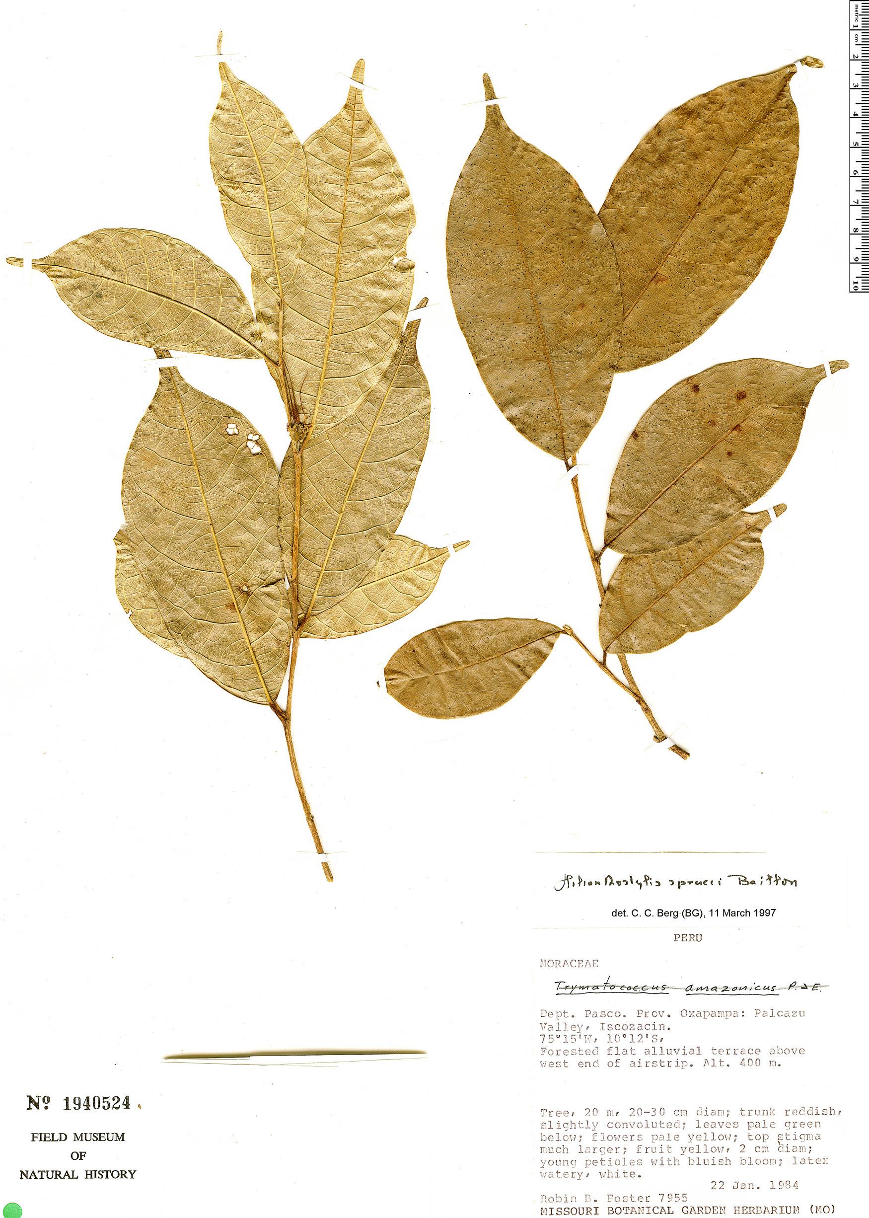 Espécime: Helianthostylis sprucei