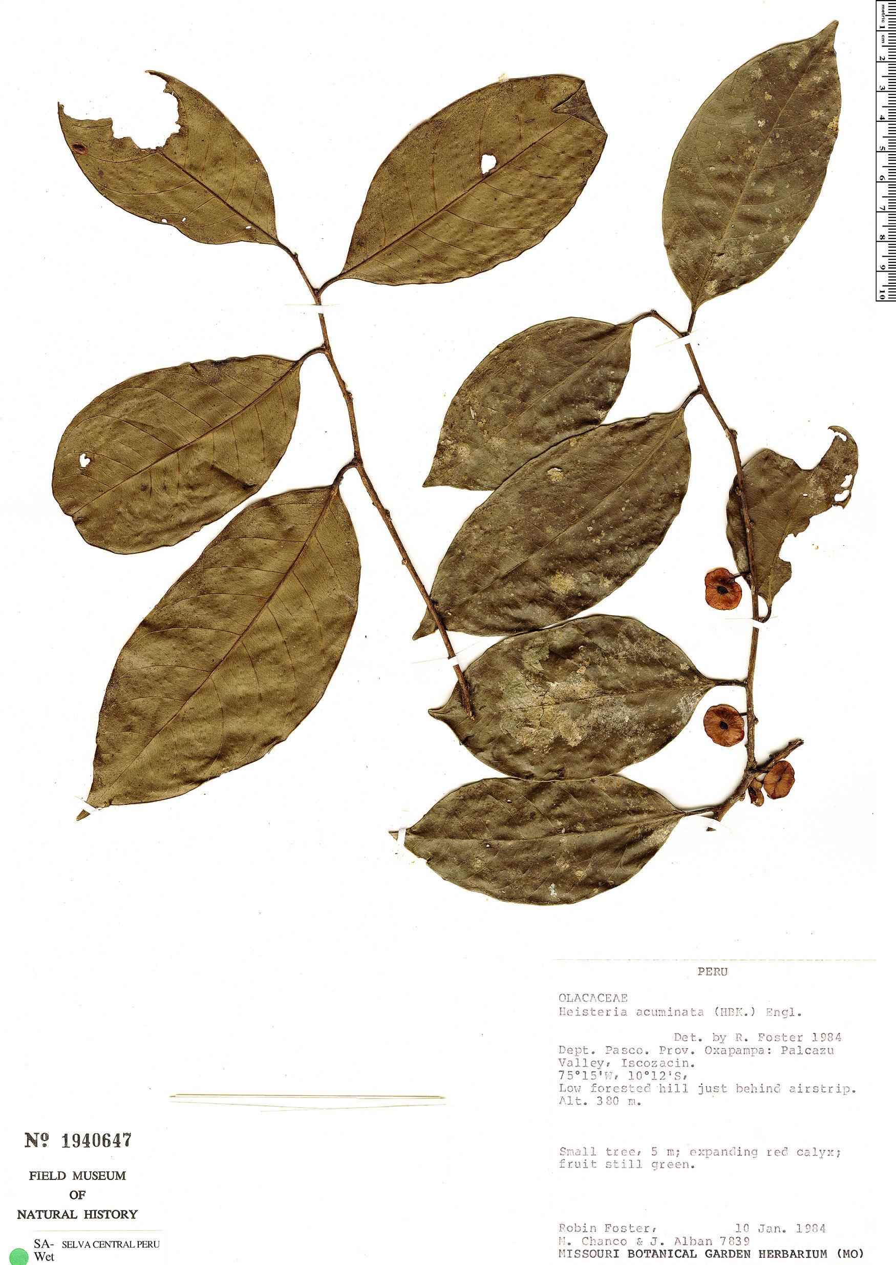 Specimen: Heisteria acuminata