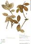Ficus americana subsp. guianensis (Desv.) C. C. Berg, Peru, R. B. Foster 7580, F