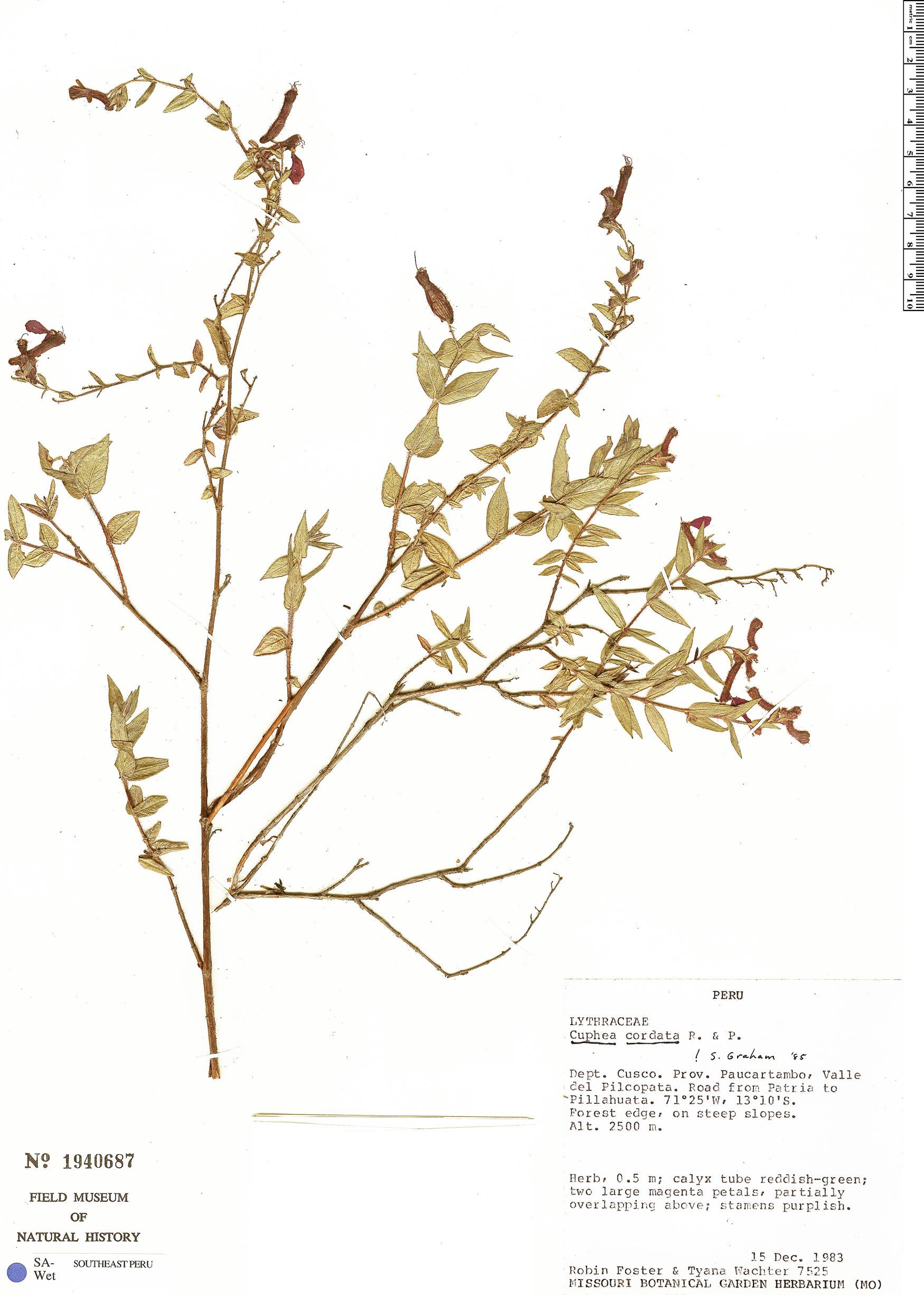 Espécimen: Cuphea cordata