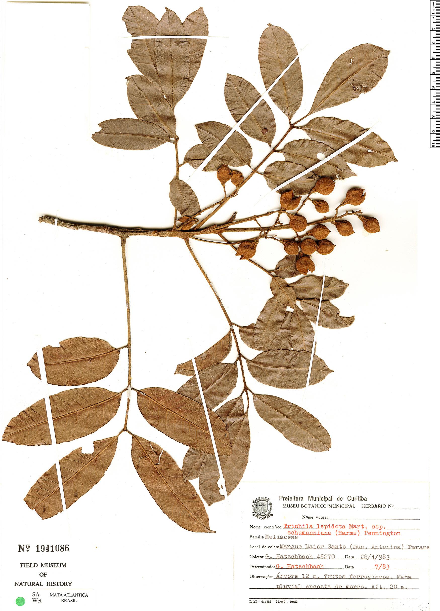 Specimen: Trichilia lepidota