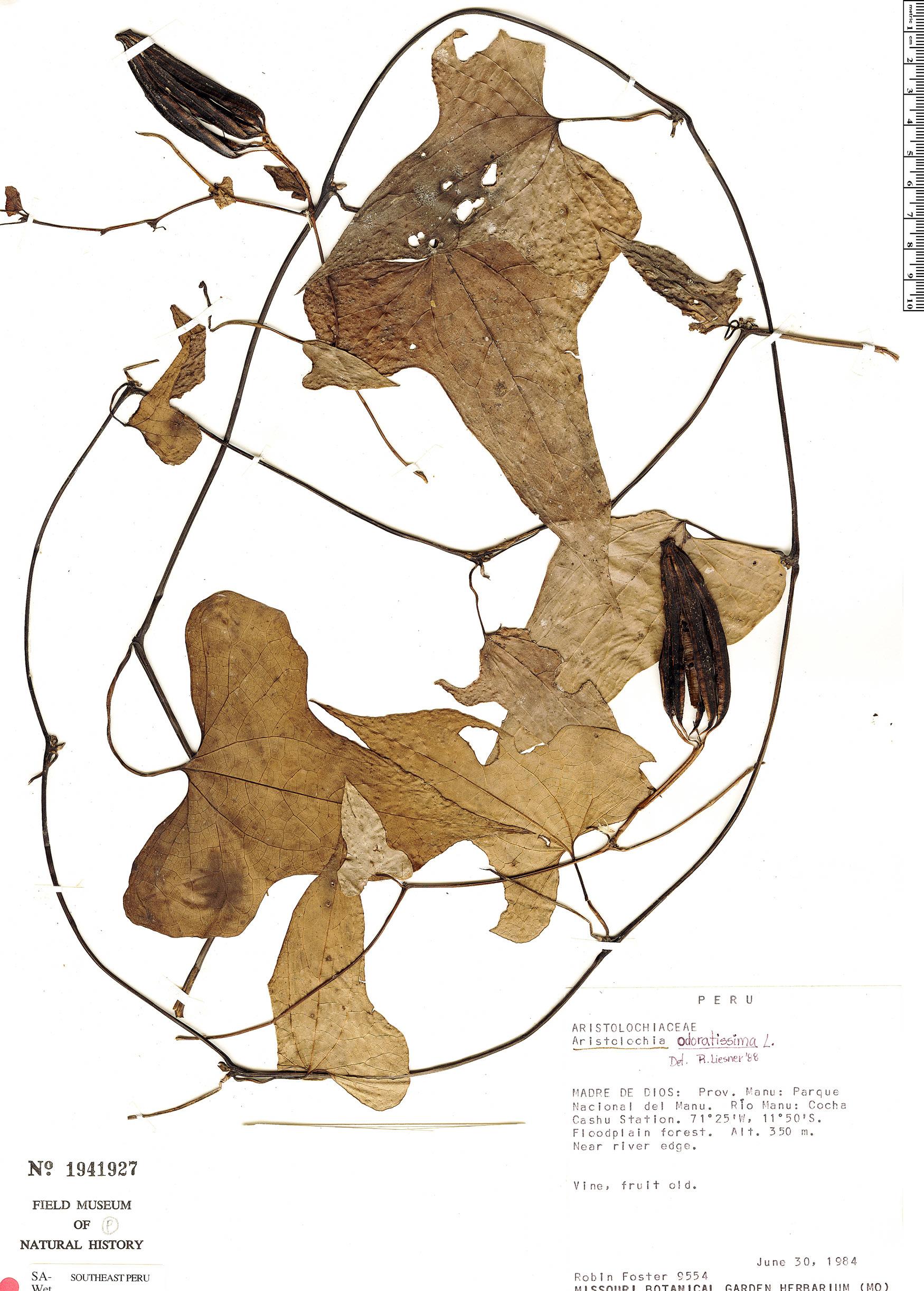 Specimen: Aristolochia odoratissima