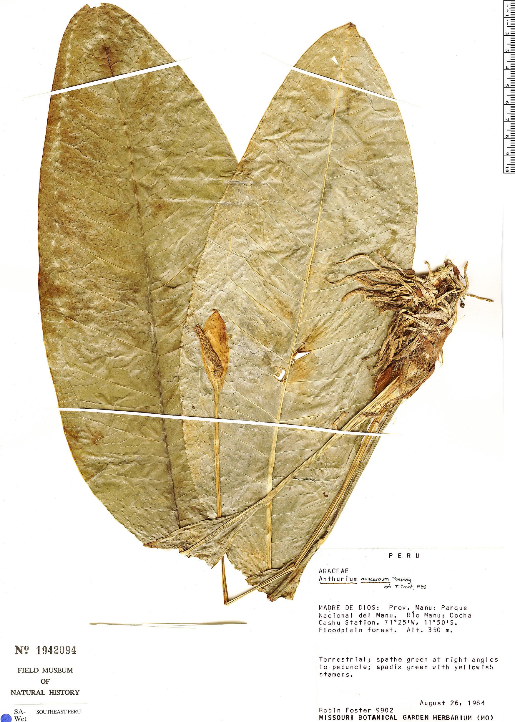 Specimen: Anthurium oxycarpum