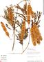 Acacia glomerosa Benth., Peru, R. B. Foster 9918, F