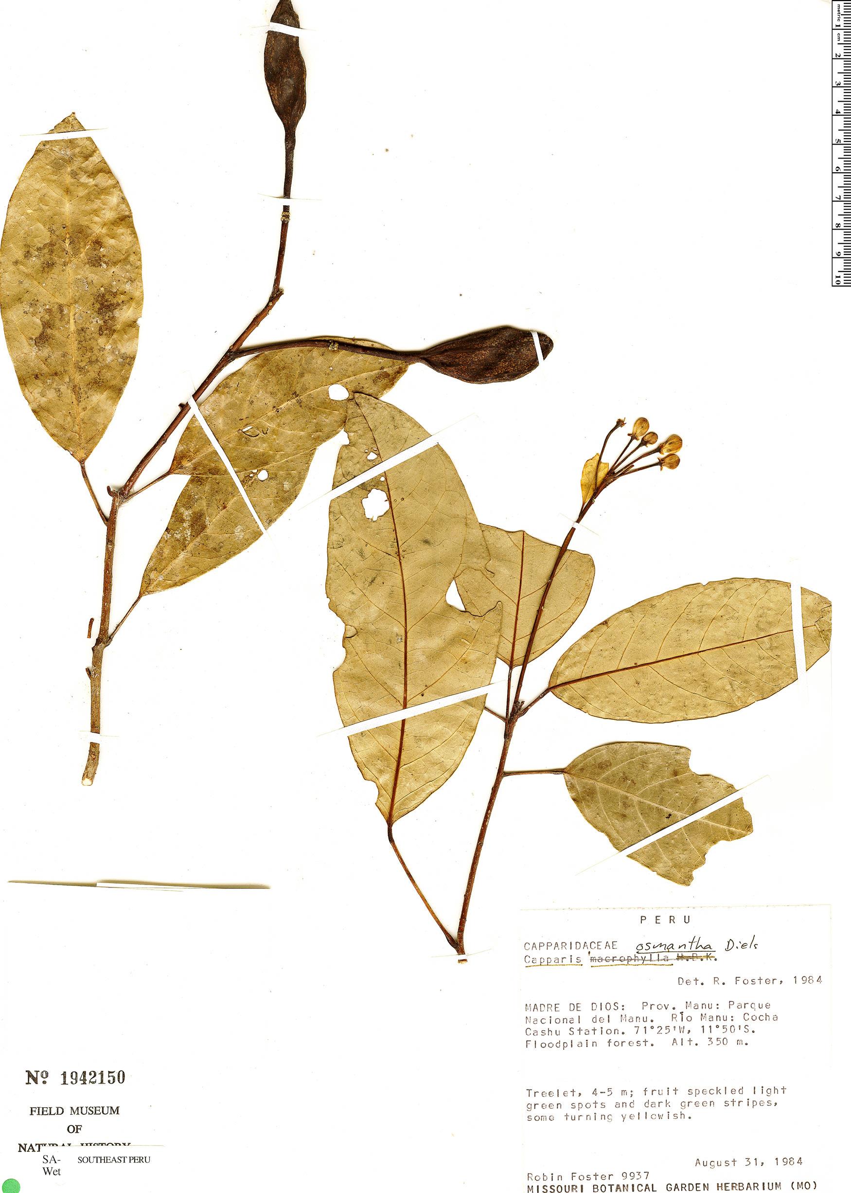 Specimen: Capparidastrum osmanthum