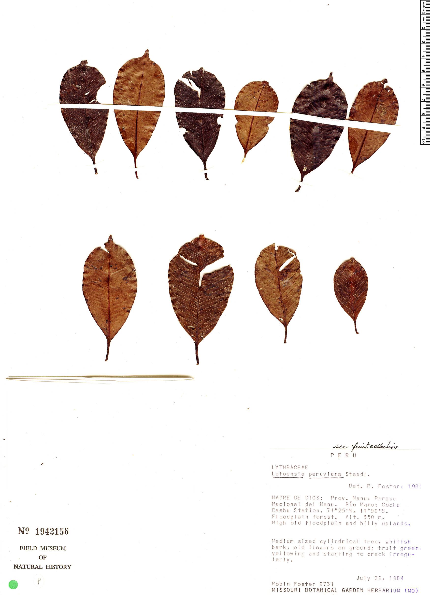 Specimen: Lafoensia punicifolia
