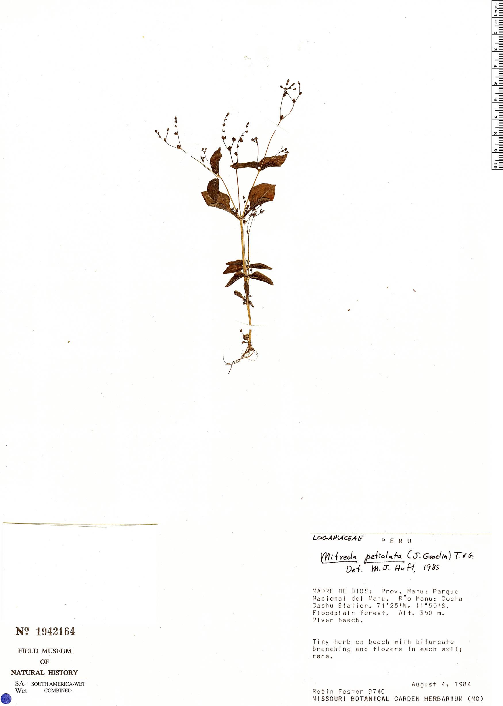 Specimen: Mitreola petiolata