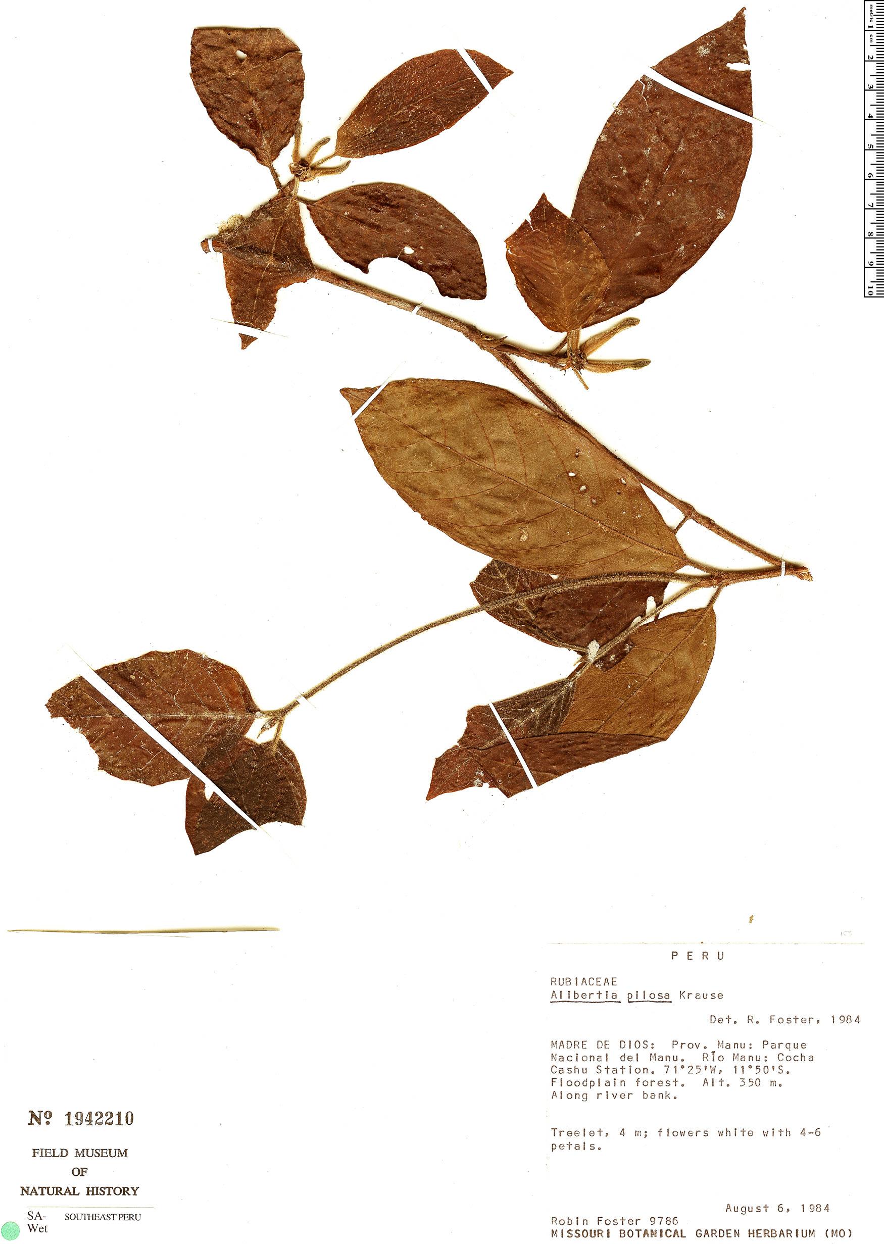 Specimen: Cordiera pilosa