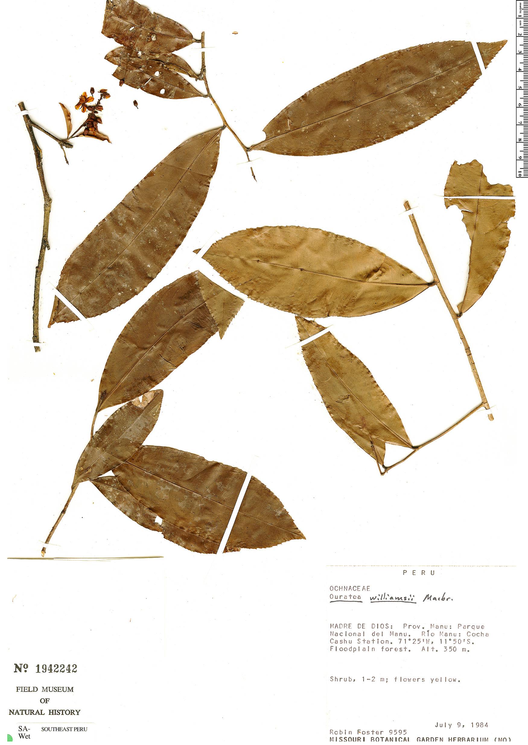 Specimen: Ouratea williamsii