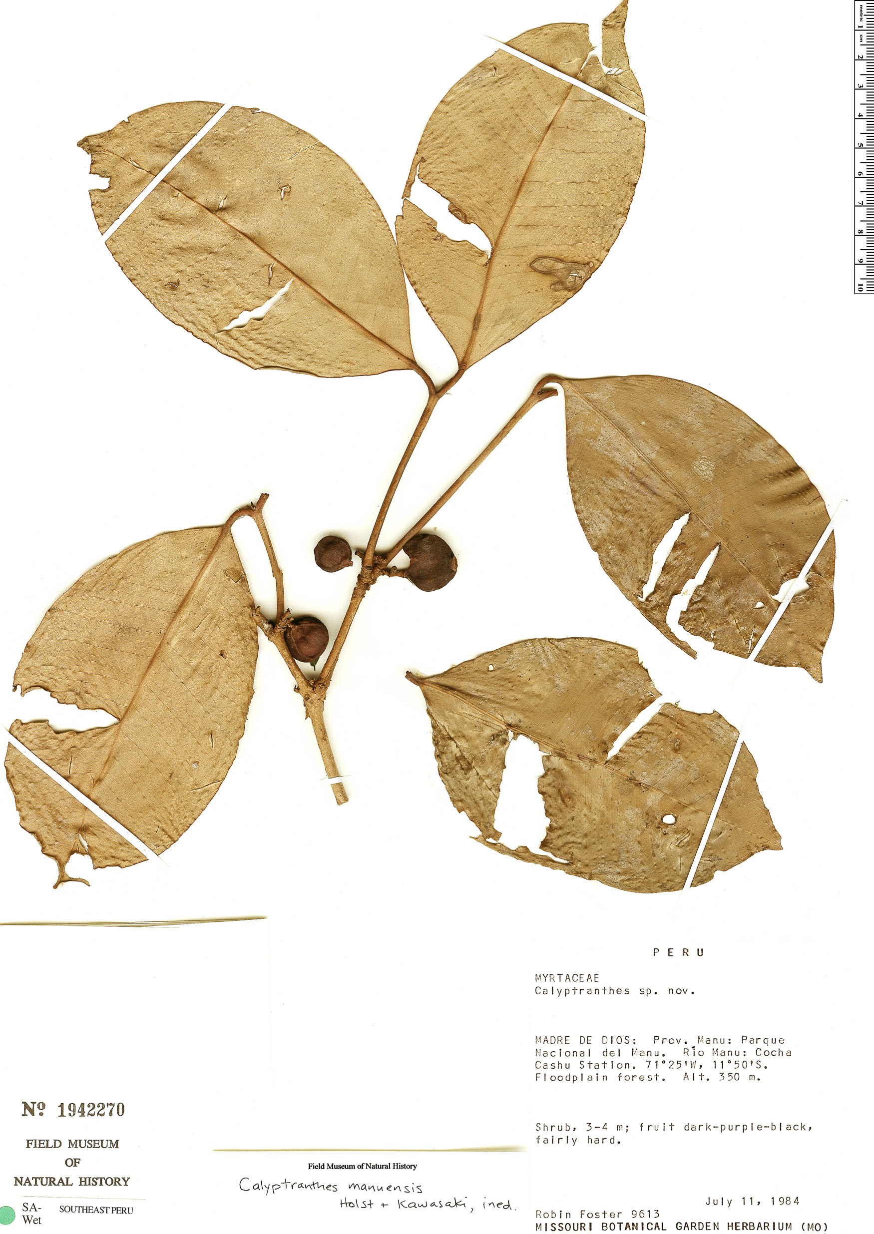 Specimen: Calyptranthes manuensis