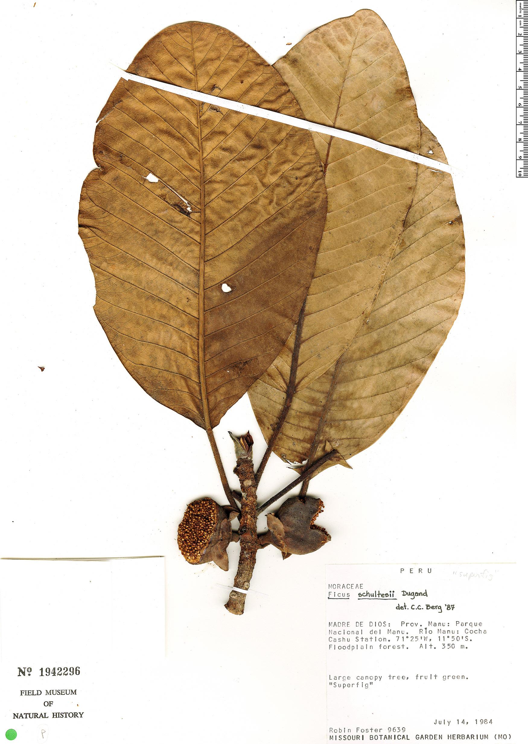 Specimen: Ficus schultesii