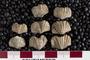 2018 Summer IMLS Ordovician Digitization Project. Brachiopod fossil