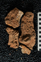 2018 Summer IMLS Ordovician Digitization Project. Cephalopod fossil