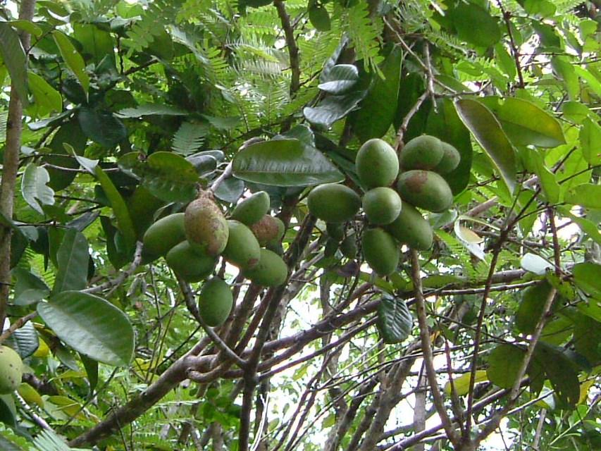Specimen: Couepia multiflora