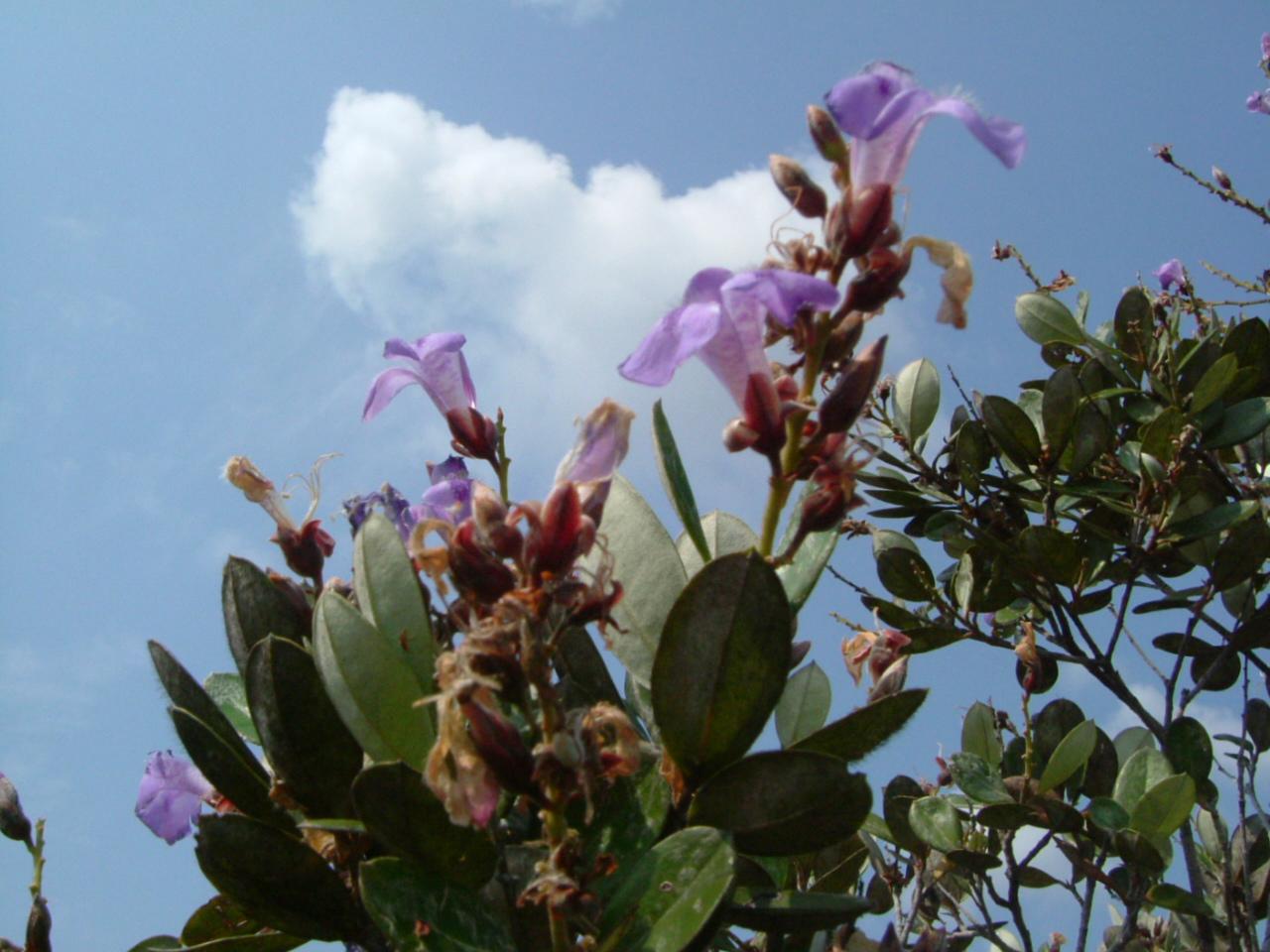 Specimen: Euphronia guianensis