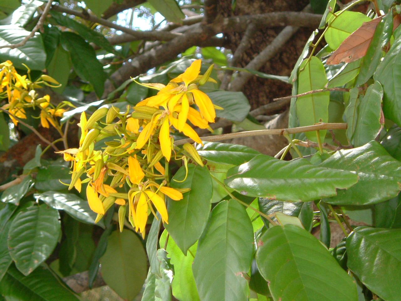 Specimen: Martiodendron excelsum