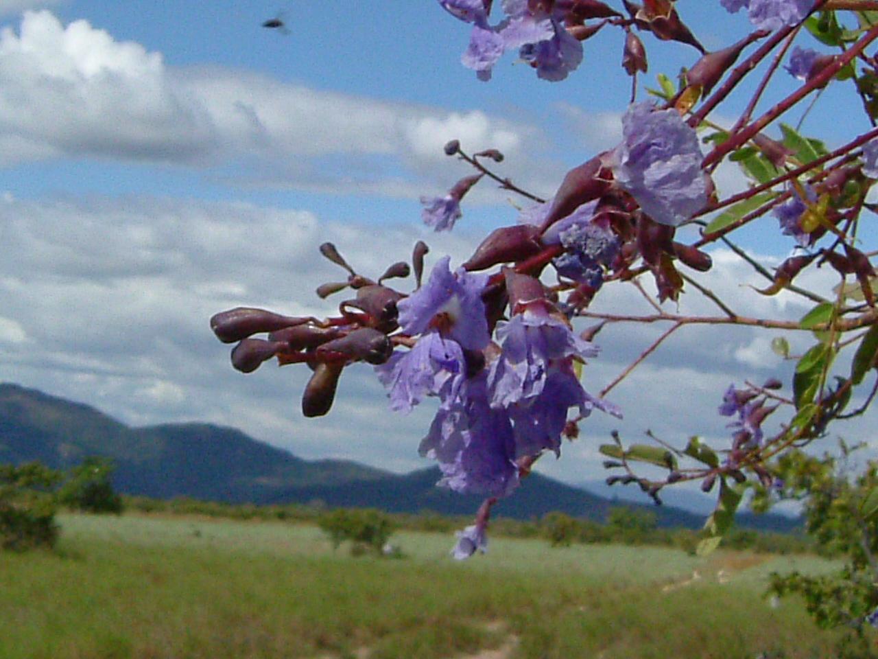Specimen: Bowdichia virgilioides