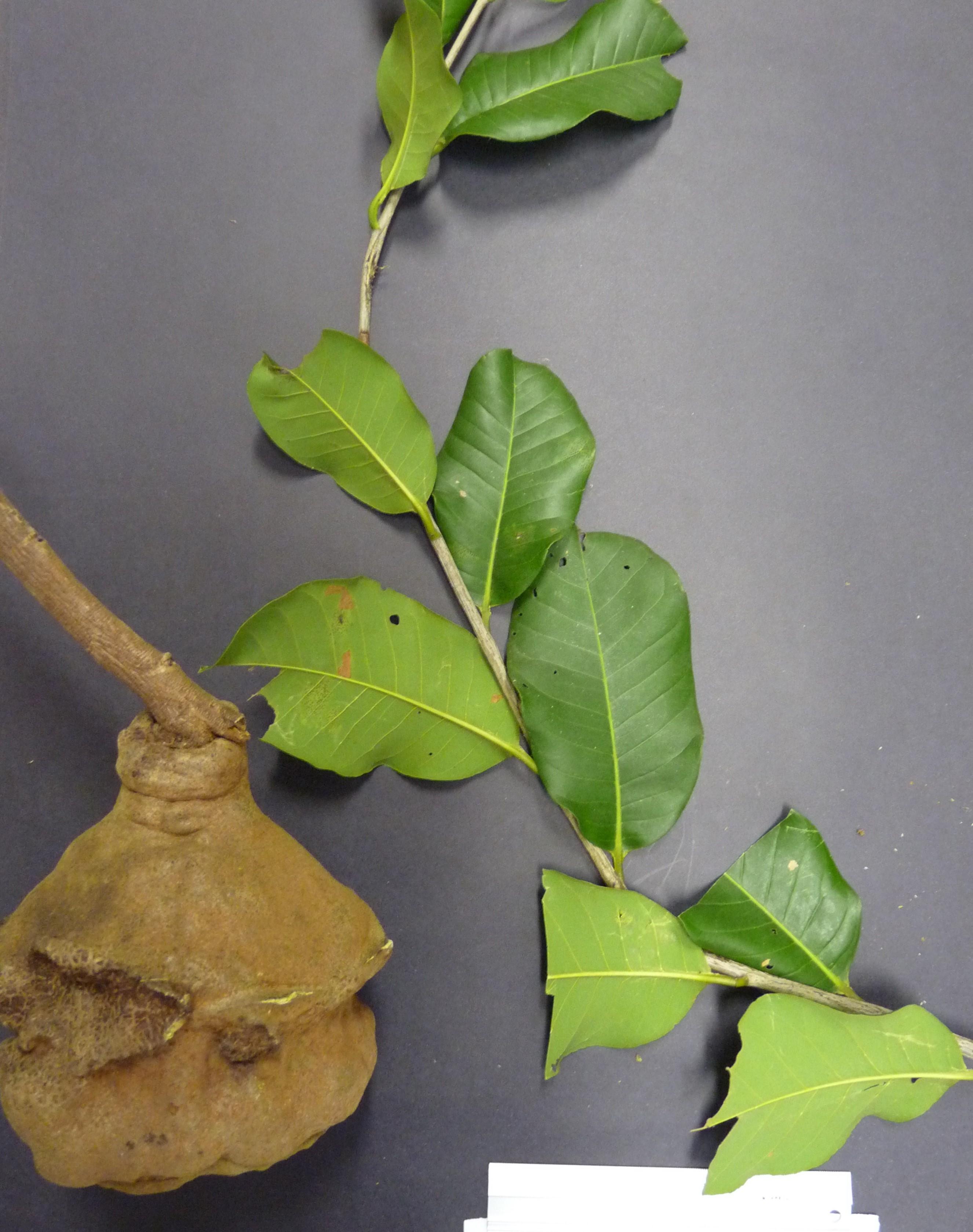 Specimen: Lecythis brancoensis