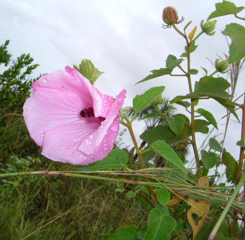Specimen: Hibiscus bifurcatus