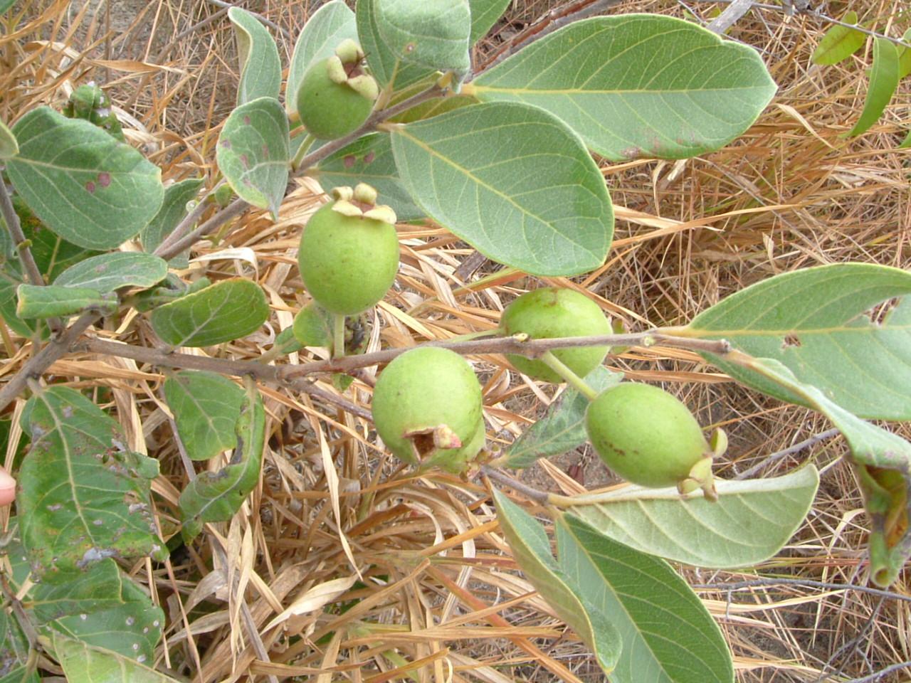 Specimen: Psidium guineense