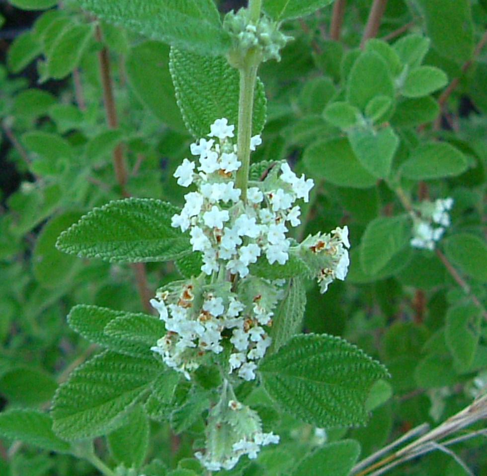 Specimen: Lippia microphylla