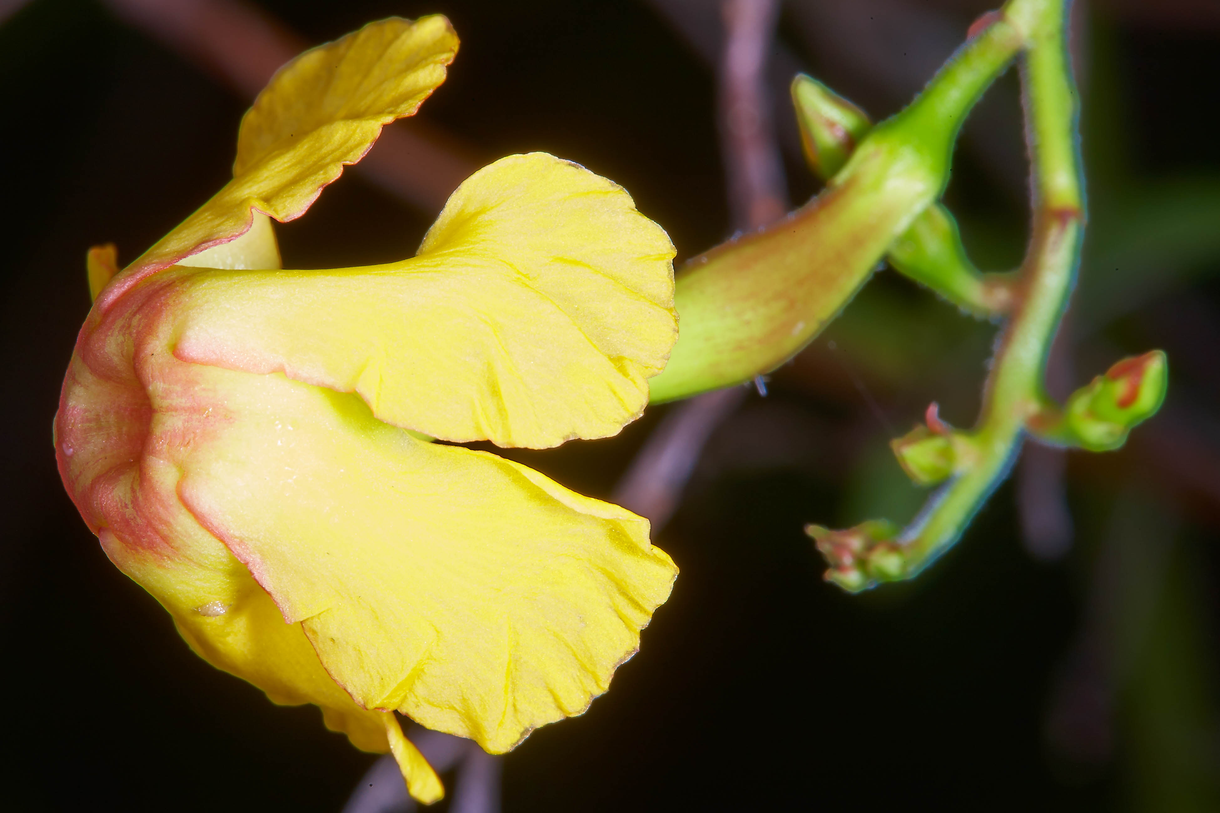 Specimen: Tabernaemontana donnell-smithii