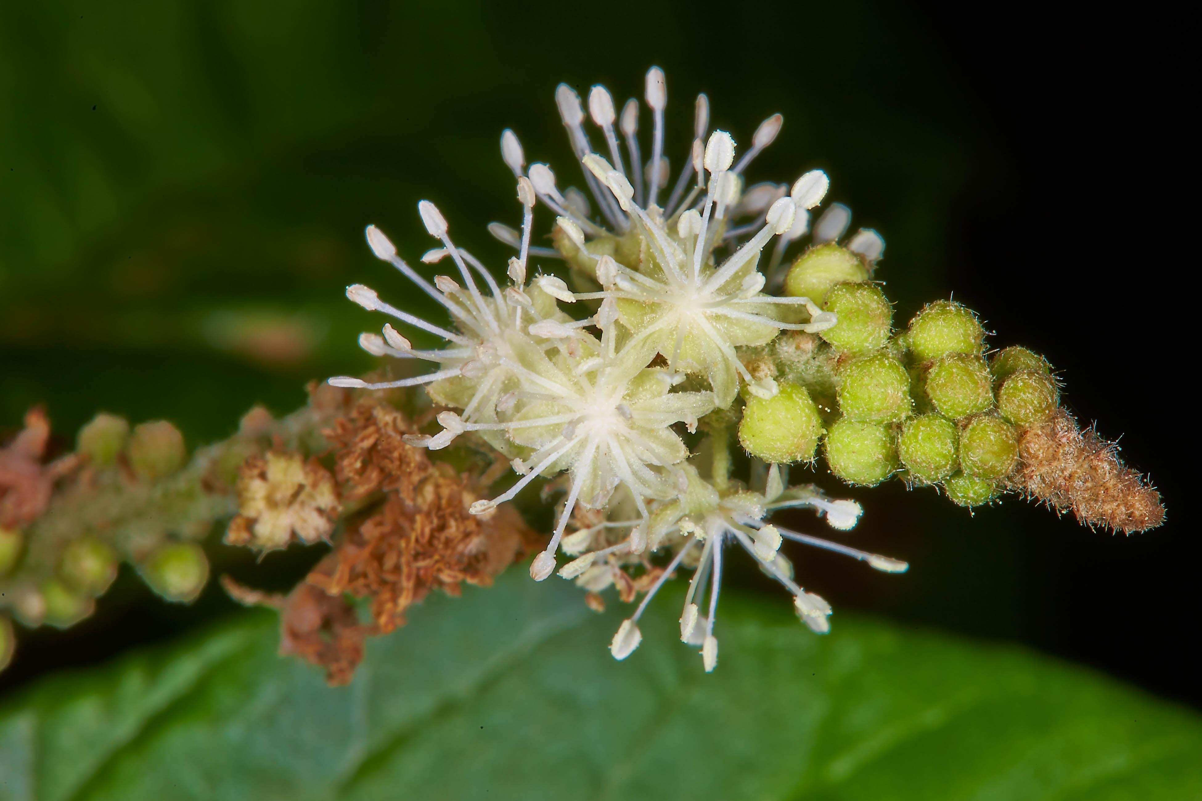 Specimen: Croton cortesianus