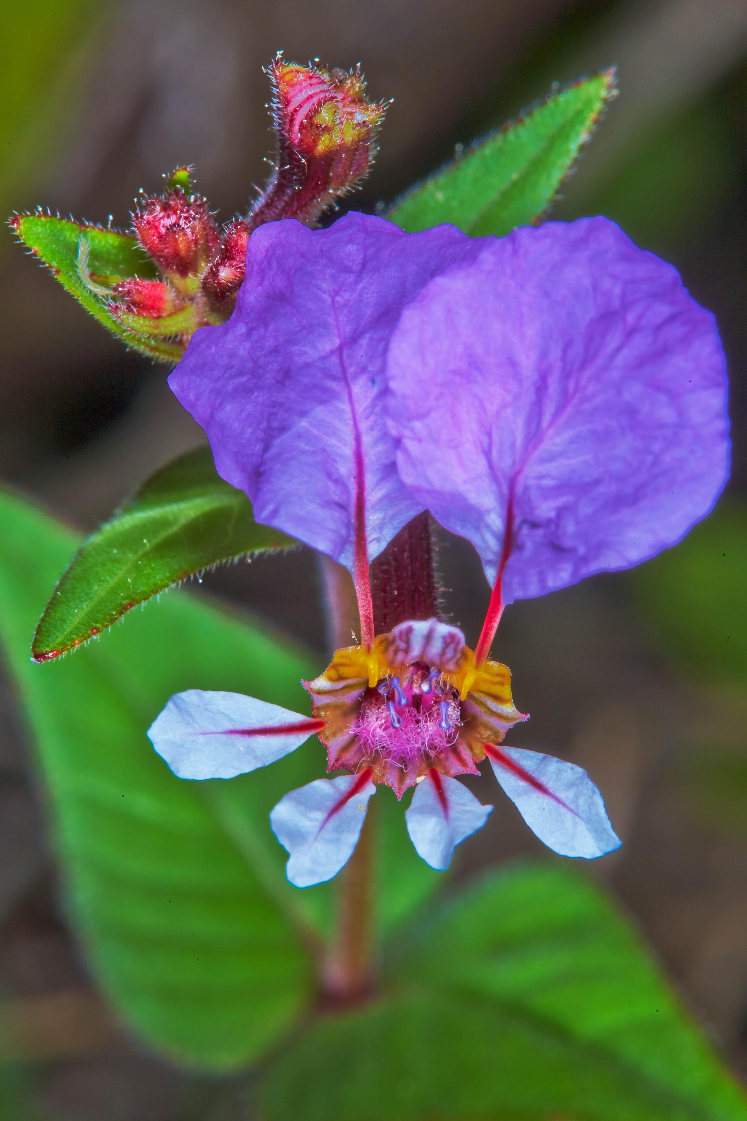 Specimen: Cuphea laminuligera