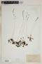 Drosera rotundifolia L., U.S.A., L. M. Umbach, F