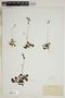 Drosera rotundifolia L., U.S.A., E. J. Hill, F