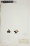 Drosera rotundifolia L., U.S.A., R. Bebb 522, F