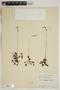 Drosera rotundifolia L., U.S.A., J. A. Steyermark 65914, F