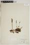 Drosera rotundifolia L., U.S.A., J. K. Small, F