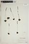 Drosera rotundifolia L., U.S.A., C. F. Millspaugh 4284, F
