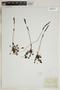 Drosera rotundifolia L., J. H. Schuette 1.1.17, F
