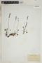 Drosera rotundifolia L., U.S.A., H. E. Brown 519, F