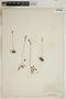 Drosera rotundifolia L., U.S.A., R. S. Williams 898, F