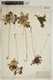 Drosera rotundifolia L., U.S.A., J. M. Coulter, F