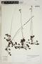 Drosera rotundifolia L., U.S.A., L. C. Wheeler 7573, F