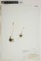 Drosera rotundifolia L., U.S.A., W. W. Eggleston, F