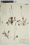 Drosera rotundifolia L., U.S.A., K. M. Wiegand 2933, F