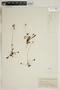 Drosera rotundifolia L., U.S.A., F