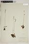 Drosera rotundifolia L., Canada, L. M. Umbach, F