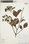 Calycophyllum spruceanum (Benth.) K. Schum., Peru, R. B. Foster 9623, F