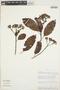 Calycophyllum spruceanum (Benth.) K. Schum., Peru, R. B. Foster 9821, F
