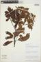 Calycophyllum spruceanum (Benth.) K. Schum., Peru, D. N. Smith 4043, F
