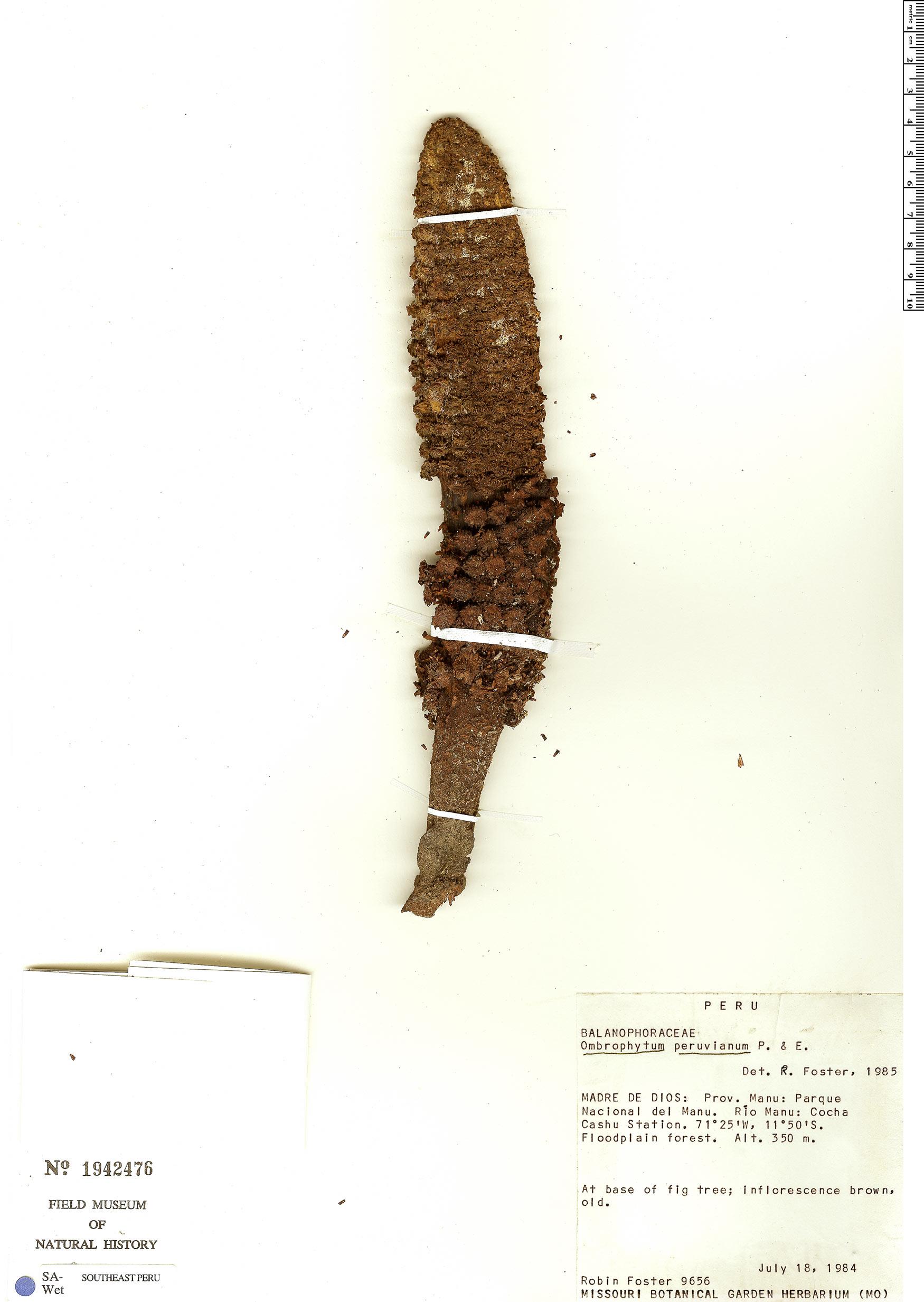 Specimen: Ombrophytum peruvianum
